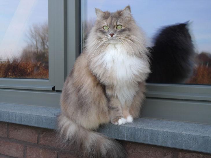 chat sibérien classique - Les Tsars de Foncourt