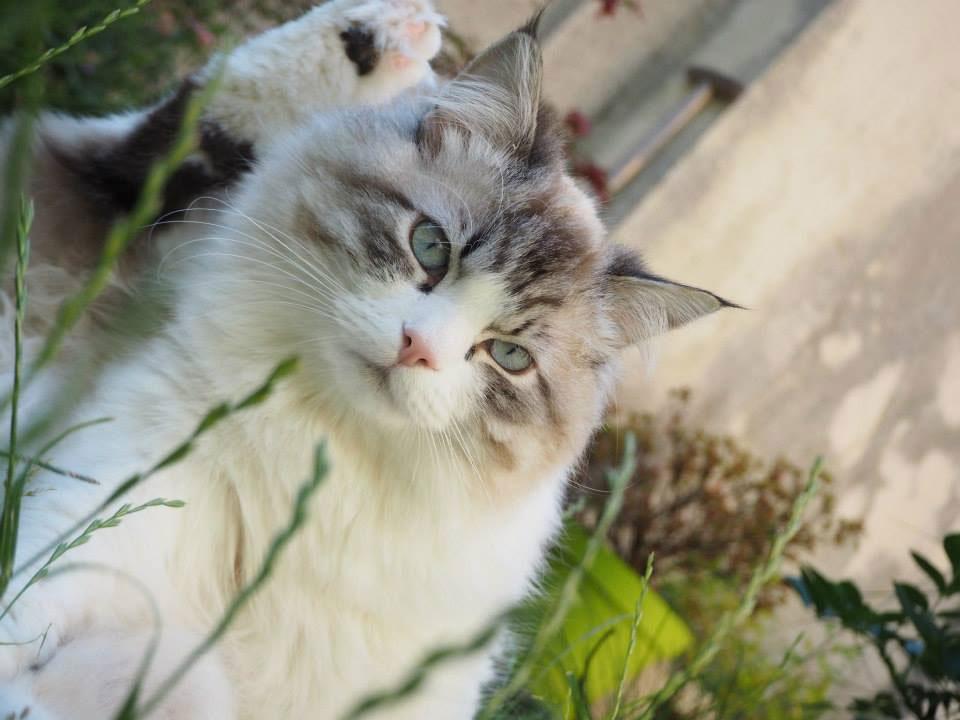chat sibérien Les Tsars de Foncourt
