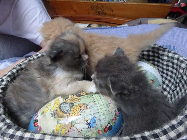 chatons sibériens Les Tsars de Foncourt