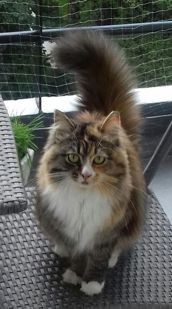 chaton sibérien classique Les Tsars de Foncourt