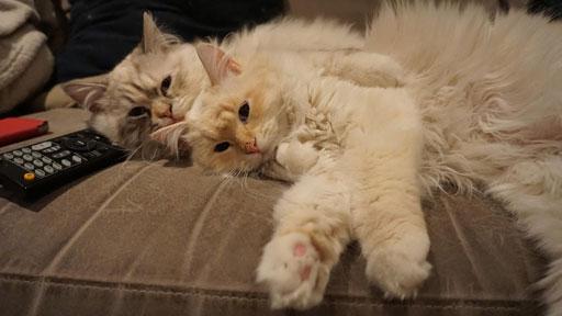 chatons sibériens