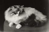 Mars - chat sibérien de fondation