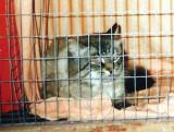 Max, chat sibérien de fondation