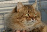 Maxim Valenvic, chat sibérien de fondation