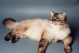 Morris, chat sibérien de fondation
