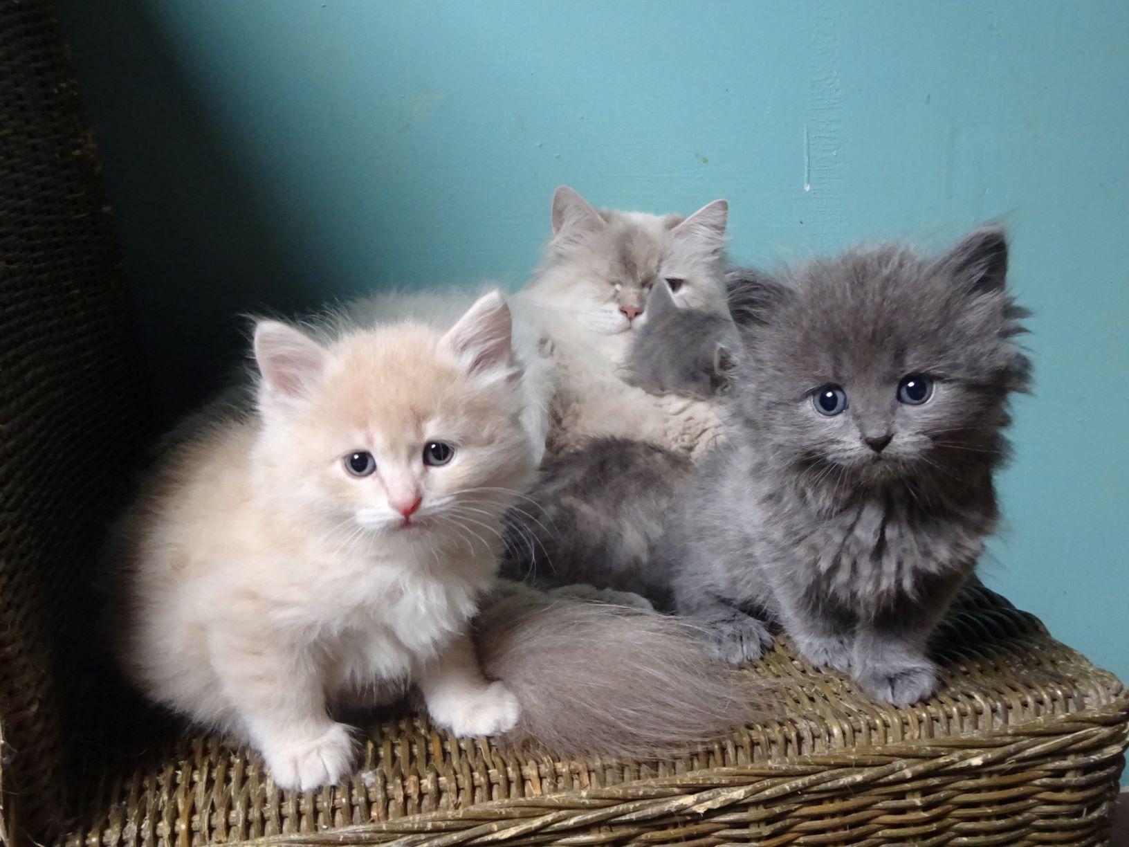 chatons sibériens traditionnels - les Tsars de Foncourt