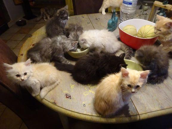 chatons sibériens - les Tsars de Foncourt