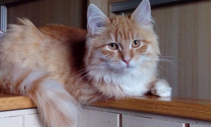 chat sibérien classique Les Tsars de Foncourt