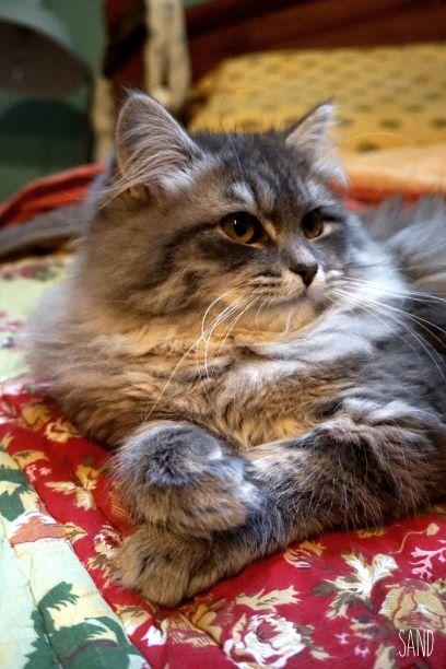 chats sibériens - les Tsars de Foncourt