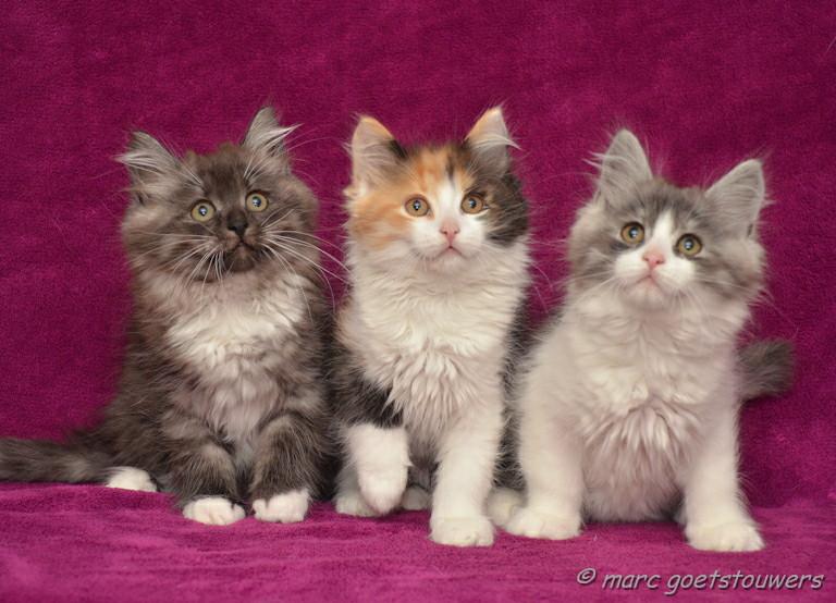 chatons sibériens classiques - les Tsars de Foncourt
